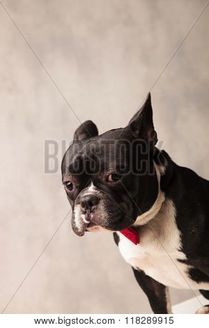 close portrait of sad elegant french bulldog wearing a red bowtie while looking down in gray studio background