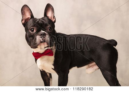 side portrait of curious black and white french bulldog wearing a red bowtie in gray studio background while looking at the camera