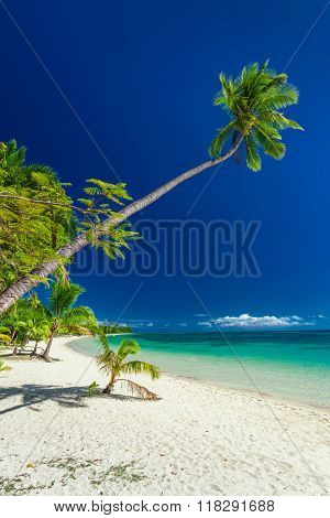 Palm tree hanging over tropical beach on Mamanuca Fiji Islands