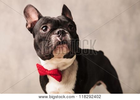 close portrait of happy black and white french bulldog puppy wearing a red bowtie while looking away in gray studio background