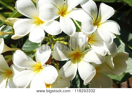 Plumeria Flowers On The Tropical Island
