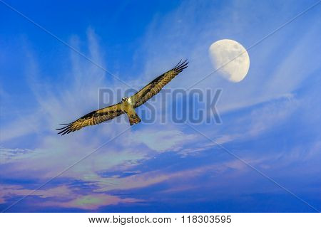 Osprey Flying With Moon