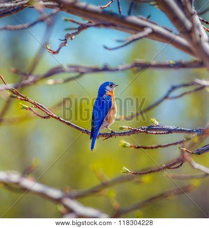 Springtime Bluebird