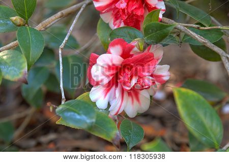 Tricolor 'Marquis de Montcalm' Camellia japonica red and white flower