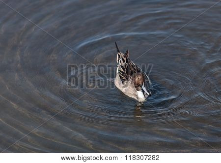 Northern pintail, Anas acuta, duck