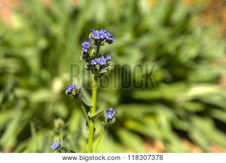 Tiny purple flowers on a Nepeta 'purple haze' plant