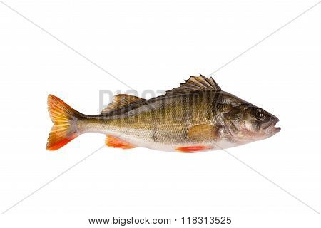 One fresh raw fish perch isolated on white background