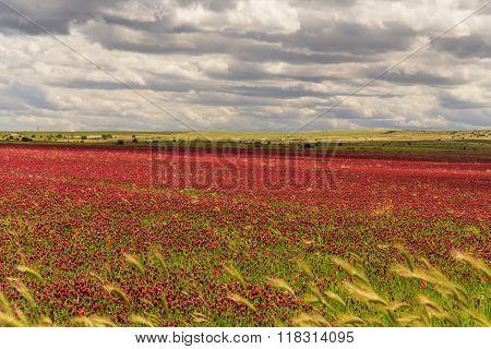 SPRINGTIME. Alta Murgia National Park: field of purple flowers. Apulia-ITALY-