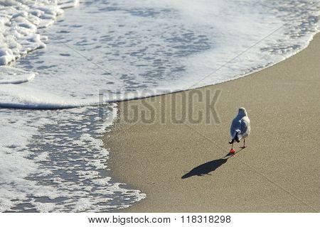 Gull Walks Along The Sea