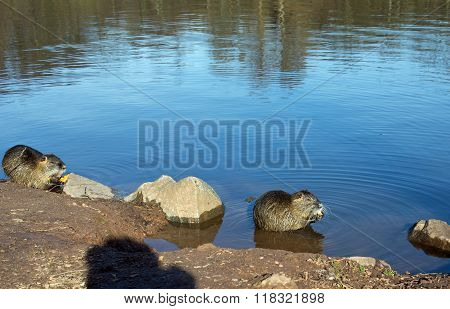 Two coypu (nutria)