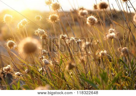 Beautiful Sunrise Light Through Thorn Or Bur Flowers And Grass