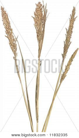 Reeds on White