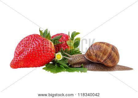 Garden Snail green leaf berry red strawberry