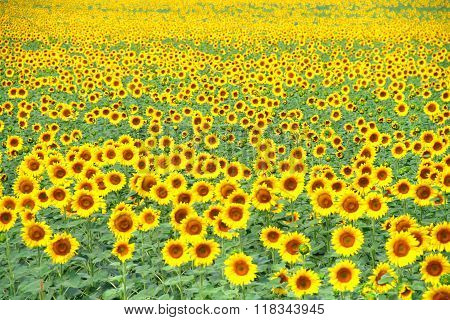 Stock photo of the Field of yellow sunflowers
