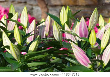 Oriental Lily Plants And Closed Buds
