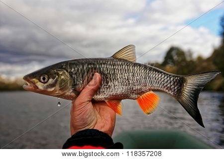 Chub in fisherman's hand, autumn catch, toned