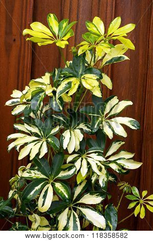 Green And Yellow Umbrella Plant