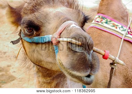 Closeup of bactrian camel, Mongolia