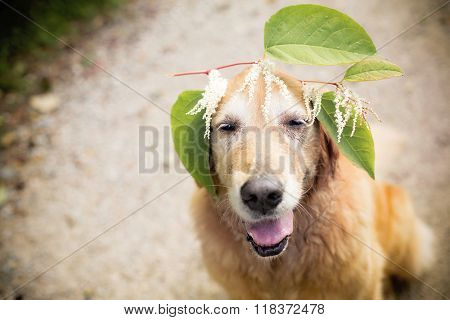 Golden retriever dog wearing leaf crown
