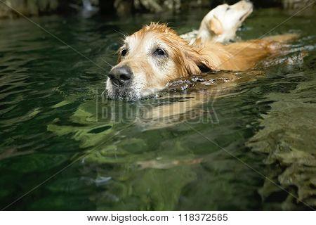 Golden retriever dog and best friend swim in river