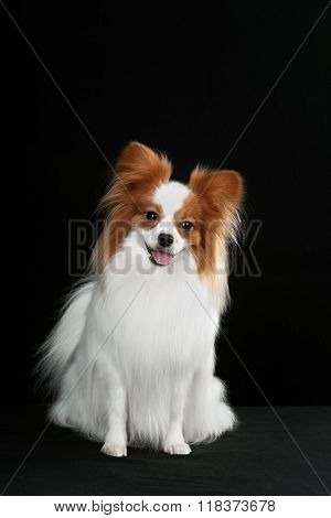 Dog breed Papillon