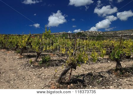 The Rapid Growth Of The Vineyard In Spring