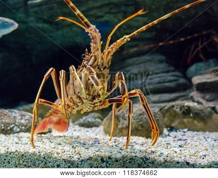 The Caribbean Spiny lobster