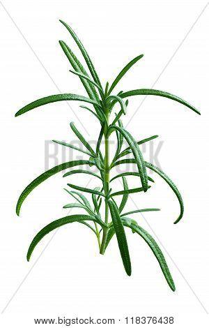Fresh Rosemary Branch