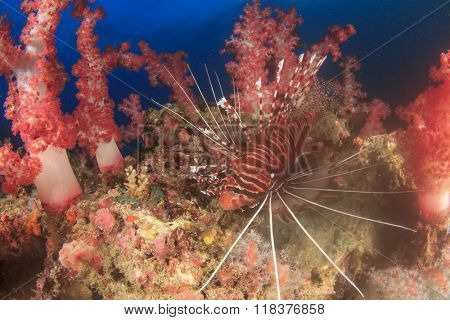 Lionfish amongst red soft corals