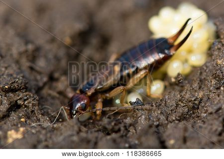 Common earwig (Forficula auricularia) with eggs