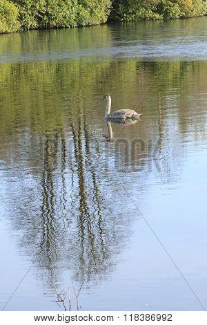 A brown cygnet on a lake