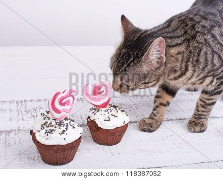 Charming Cat Licks A Chocolate Cake For Valentine's Day