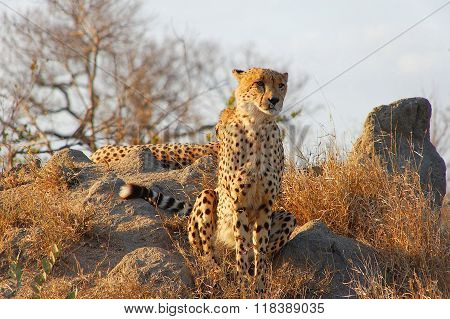 Cheetah Looking From Stone In The Wildernes