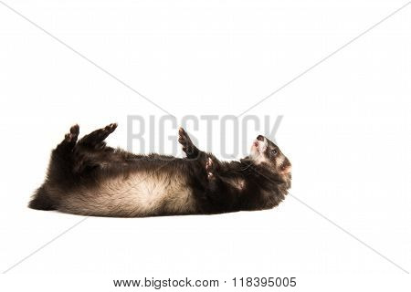 Cute ferret on its back