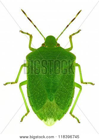 green stink bug Nezara viridula
