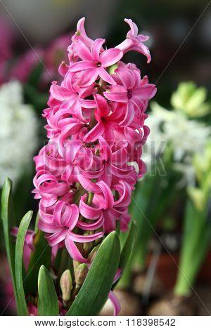 Pink Hyacinth (lat. Hyacinthus)