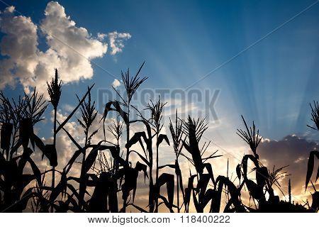 Maize Cornfield At Sunset