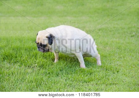 Close-up female cute dog puppy Pug pee on green grass