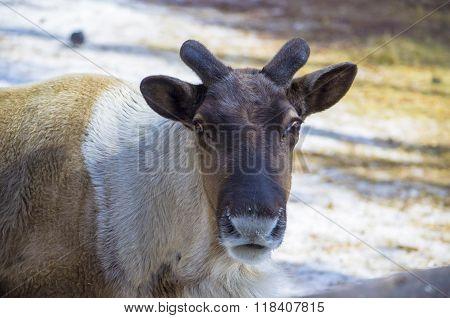 Reindeer took off the horns