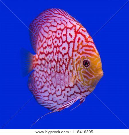 Pompadour (Discus) fish in a fish tank