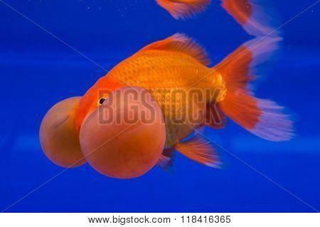 Beautiful goldfish aquarium isolate on blue background.