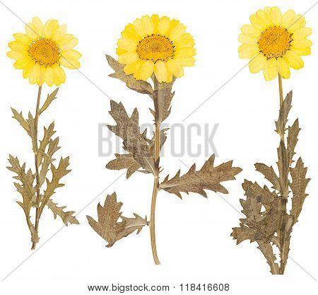 Herbarium Of Pressed Yellow Flowers