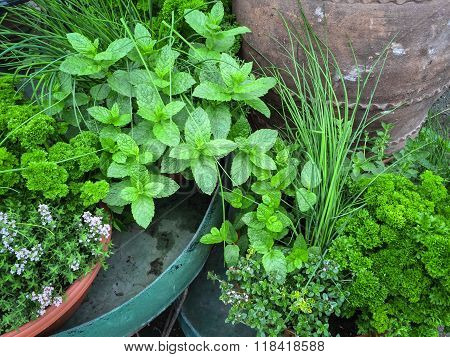 Edible Green Herbs