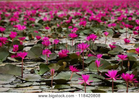 Sea of the red lotus in Thailand province Udon Thani.