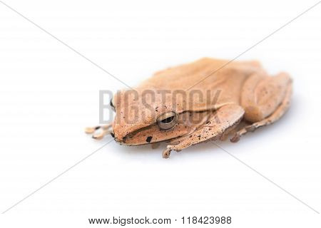 Golden Tree Frog Common Tree Frog on a white background