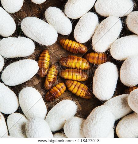 Closeup of Silkworm pupae Life cycle of Silkworm