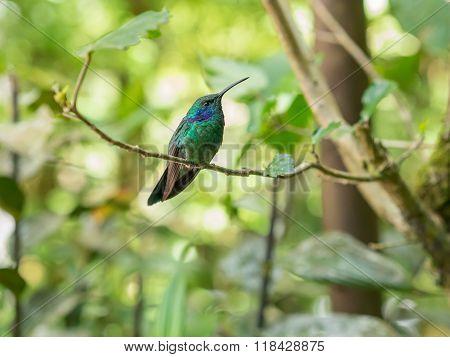 Humminbird in Monteverde