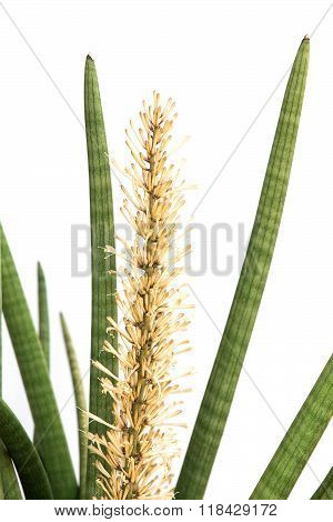 Sansevieria cylindrica Bojer on a white background