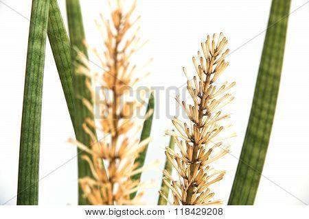Sansevieria cylindrica Bojer on a white background