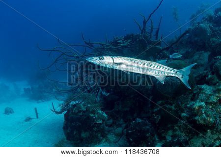 A Great Barracuda on a Tropical Reef